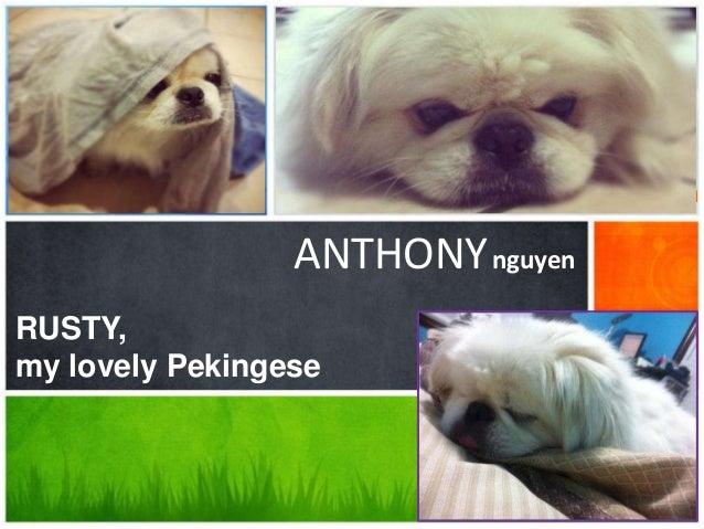 ANTHONY nguyenRUSTY,my lovely Pekingese