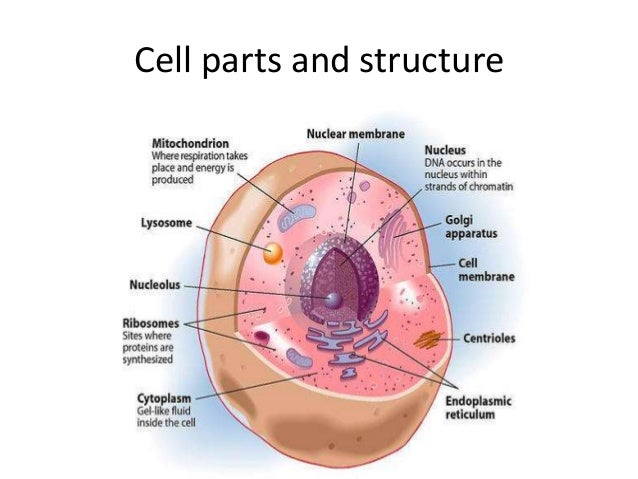 Animal cell structure and function copy 5 ccuart Images
