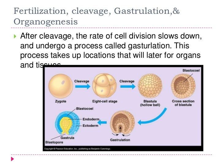 Diagram of animal development auto wiring diagram today animal development rh slideshare net animal cell diagram animal cell structure diagram ccuart Images