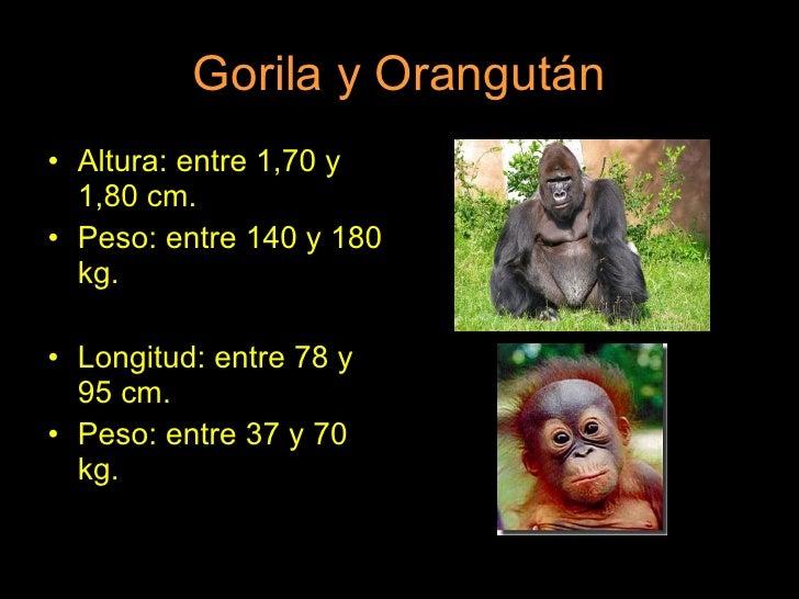 Gorila y Orangután <ul><li>Altura: entre 1,70 y 1,80 cm. </li></ul><ul><li>Peso: entre 140 y 180 kg. </li></ul><ul><li>Lon...
