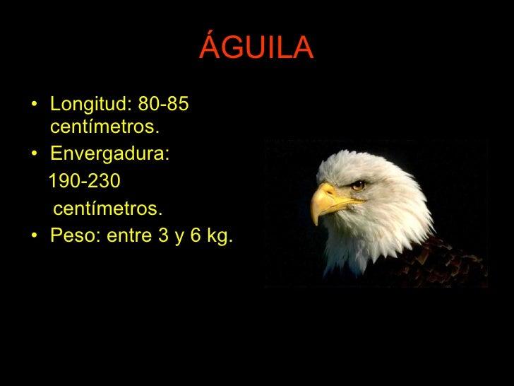 ÁGUILA <ul><li>Longitud: 80-85 centímetros. </li></ul><ul><li>Envergadura: </li></ul><ul><li>190-230 </li></ul><ul><li>cen...