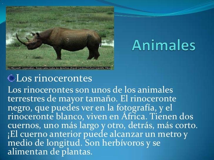 .      Los rinocerontes    Los rinocerontes son unos de los animales    terrestres de mayor tamaño. El rinoceronte    negr...