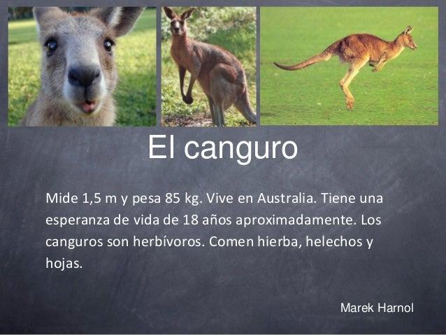 El canguro Mide 1,5 m y pesa 85 kg. Vive en Australia. Tiene una esperanza de vida de 18 años aproximadamente. Los canguro...