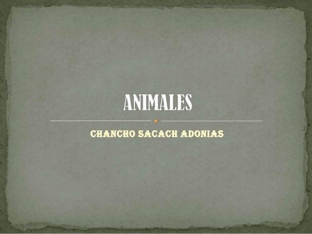 CHANCHO SACACH ADONIAS