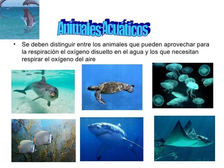 • Se deben distinguir entre los animales que pueden aprovechar para  la respiración el oxígeno disuelto en el agua y los q...