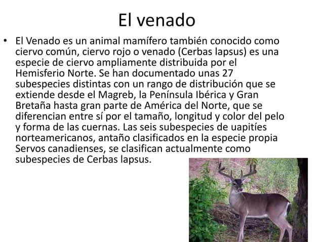 El venado • El Venado es un animal mamífero también conocido como ciervo común, ciervo rojo o venado (Cerbas lapsus) es un...