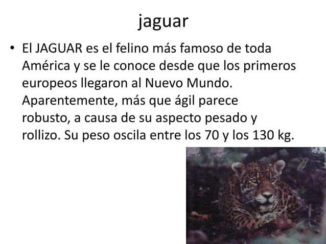 jaguar • El JAGUAR es el felino más famoso de toda América y se le conoce desde que los primeros europeos llegaron al Nuev...