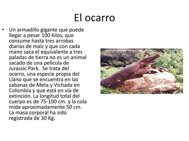 El ocarro • Un armadillo gigante que puede llegar a pesar 100 kilos, que consume hasta tres arrobas diarias de maíz y que ...
