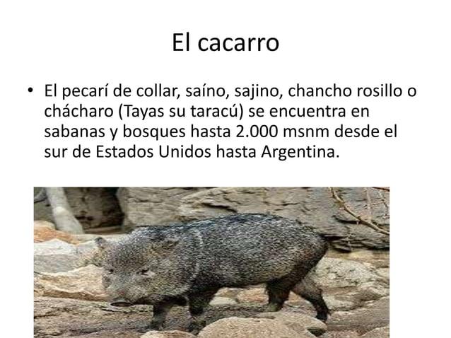 El cacarro • El pecarí de collar, saíno, sajino, chancho rosillo o chácharo (Tayas su taracú) se encuentra en sabanas y bo...