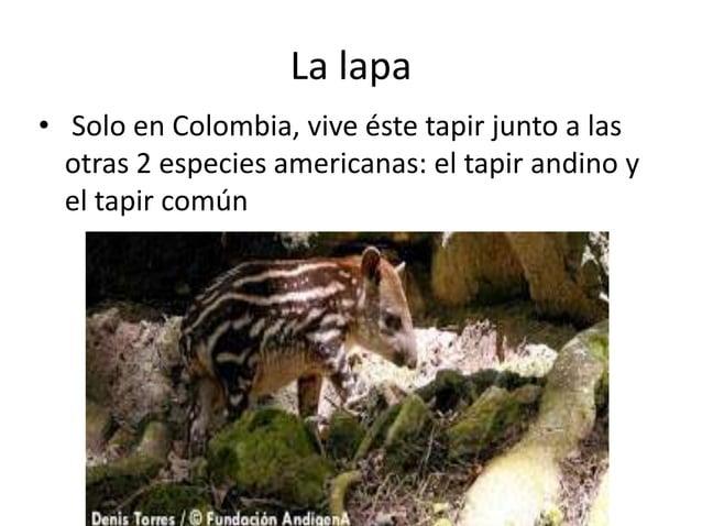 La lapa • Solo en Colombia, vive éste tapir junto a las otras 2 especies americanas: el tapir andino y el tapir común