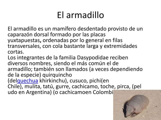 El armadillo El armadillo es un mamífero desdentado provisto de un caparazón dorsal formado por las placas yuxtapuestas, o...