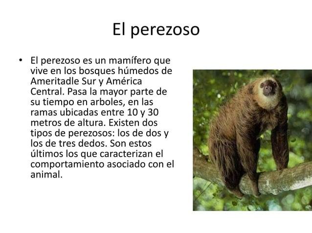 El perezoso • El perezoso es un mamífero que vive en los bosques húmedos de Ameritadle Sur y América Central. Pasa la mayo...