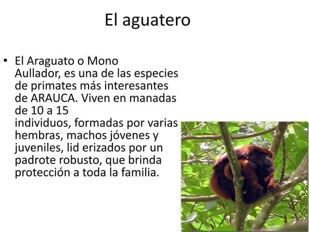 El aguatero • El Araguato o Mono Aullador, es una de las especies de primates más interesantes de ARAUCA. Viven en manadas...