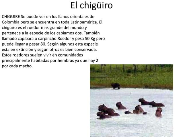 El chigüiro CHIGUIRE Se puede ver en los llanos orientales de Colombia pero se encuentra en toda Latinoamérica. El chigüir...