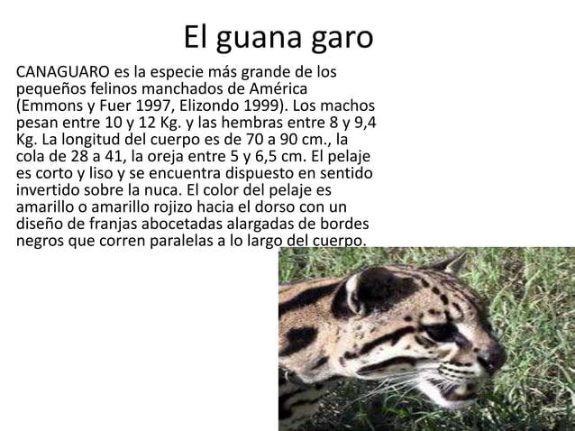 El guana garo  • CANAGUARO es la especie más grande de los pequeños felinos manchados de América (Emmons y Fuer 1997, Eliz...