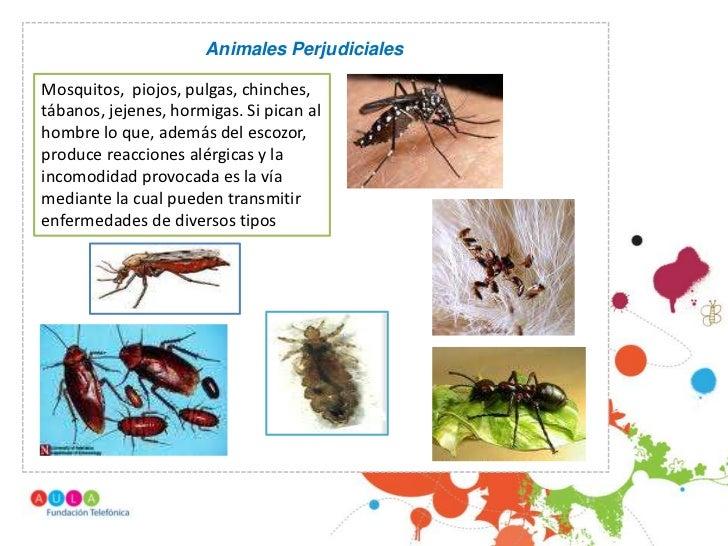 Animales PerjudicialesMosquitos, piojos, pulgas, chinches,tábanos, jejenes, hormigas. Si pican al                   .hombr...
