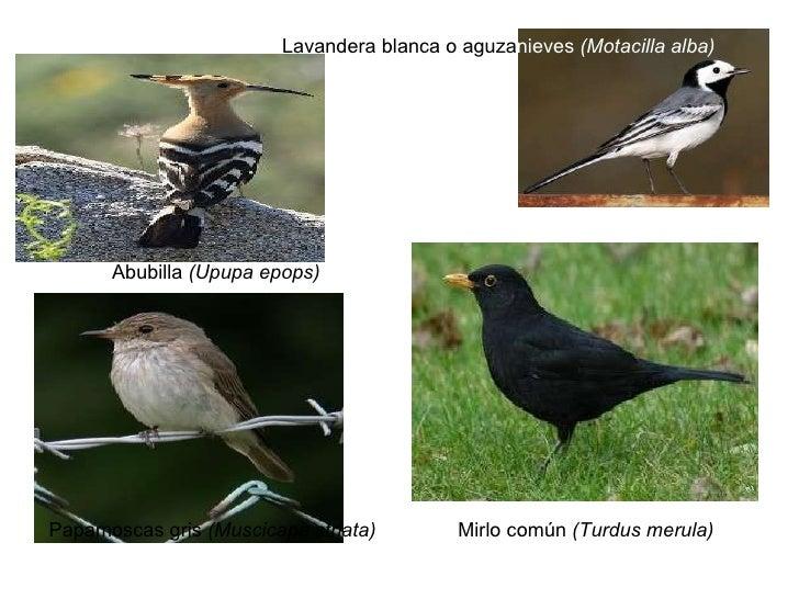 Mirlo común  (Turdus merula)   Lavandera blanca o aguza nieves (Motacilla alba)   Papamoscas gris (Muscicapa striata)   ...
