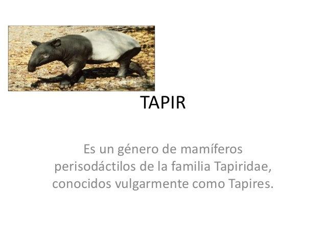 TAPIR Es un género de mamíferos perisodáctilos de la familia Tapiridae, conocidos vulgarmente como Tapires.