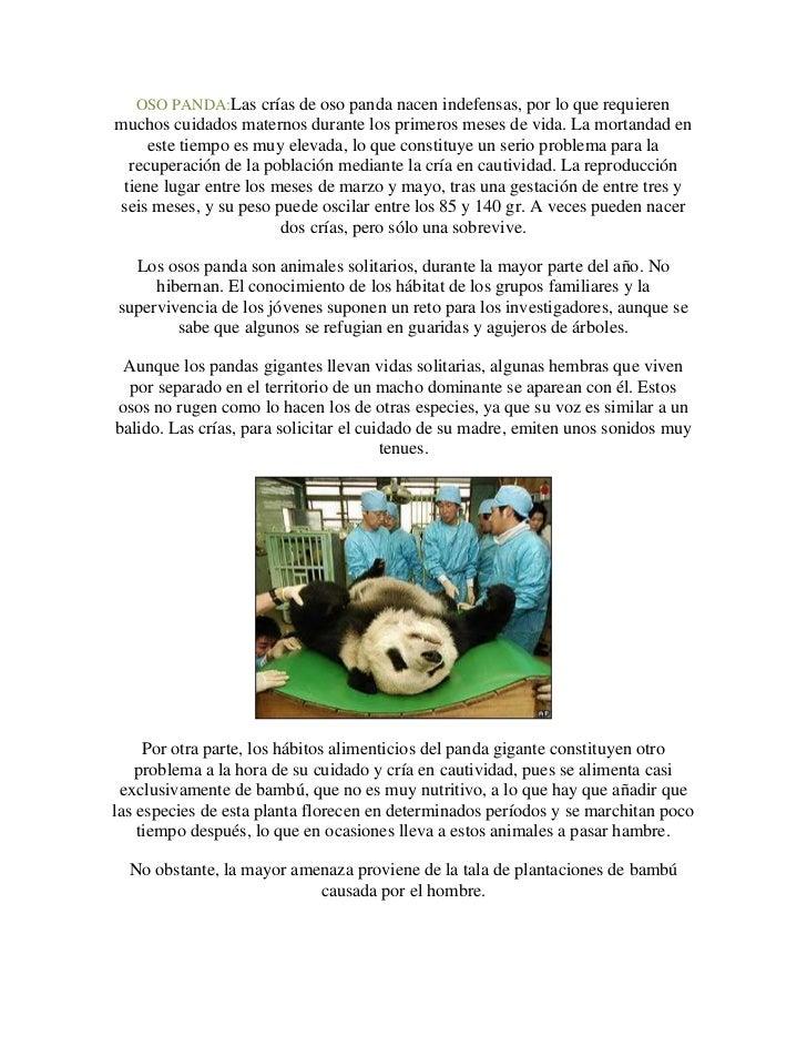 OSO PANDA:Las crías de oso panda nacen indefensas, por lo que requierenmuchos cuidados maternos durante los primeros meses...