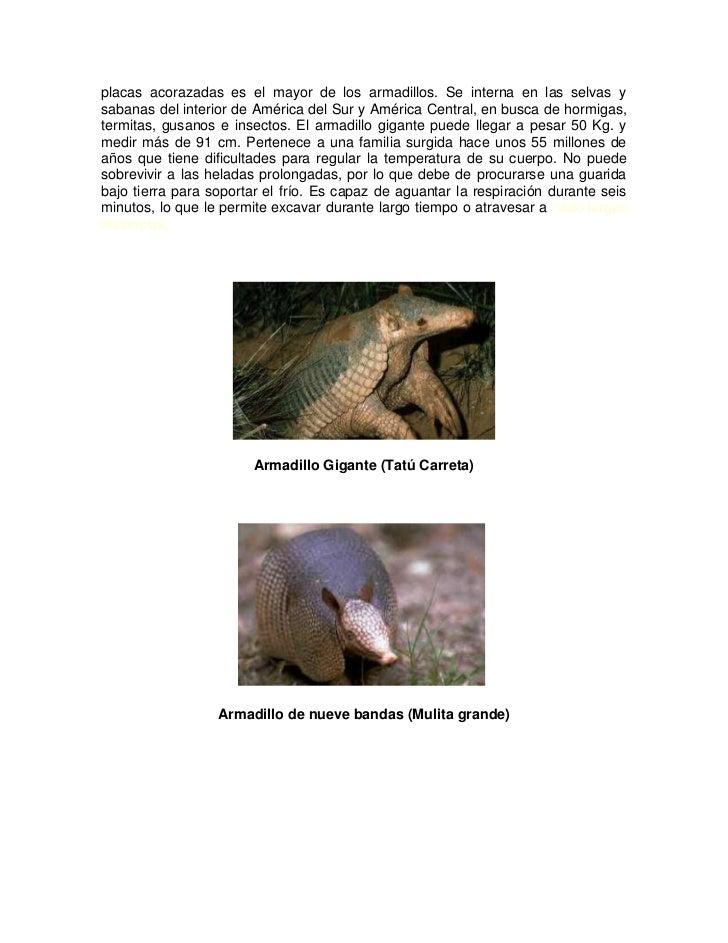 placas acorazadas es el mayor de los armadillos. Se interna en las selvas ysabanas del interior de América del Sur y Améri...