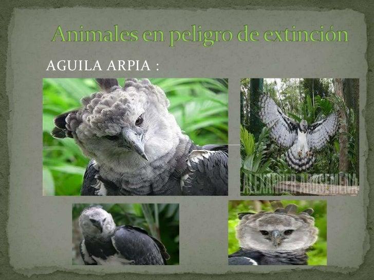 AGUILA ARPIA :