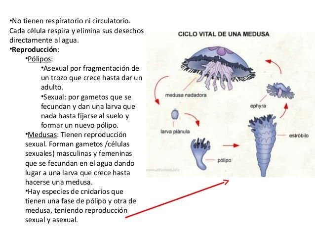 Animales invertebrados 1 eso - Como se alimentan las medusas ...