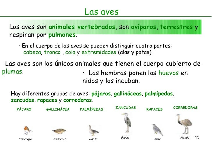Las aves Los aves son  animales vertebrados , son  ovíparos ,  terrestres  y respiran por  pulmones . <ul><li>En el cuerpo...