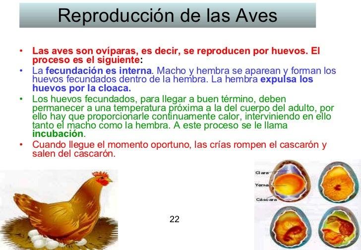 Reproducción de las Aves <ul><li>Las aves son ovíparas, es decir, se reproducen por huevos. El proceso es el siguiente :  ...