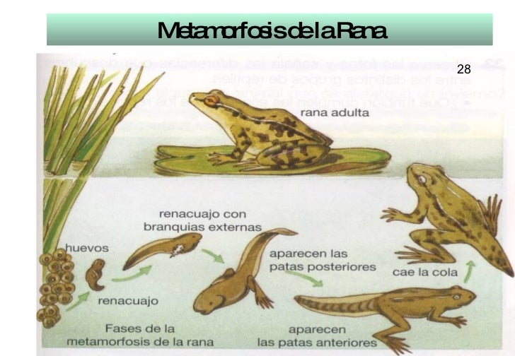 Metamorfosis de la Rana 28