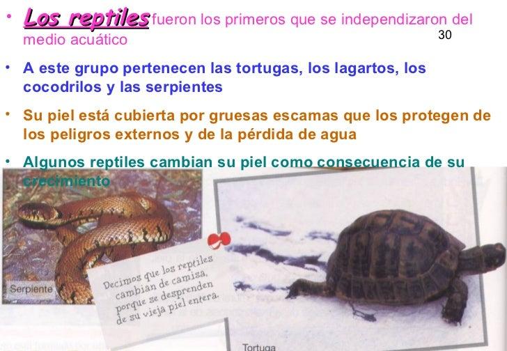 <ul><li>Los reptiles  fueron los primeros que se independizaron del medio acuático </li></ul><ul><li>A este grupo pertenec...