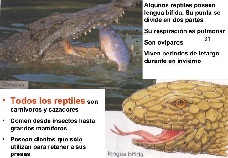 <ul><li>Todos los reptiles  son carnívoros y cazadores </li></ul><ul><li>Comen desde insectos hasta grandes mamíferos </li...