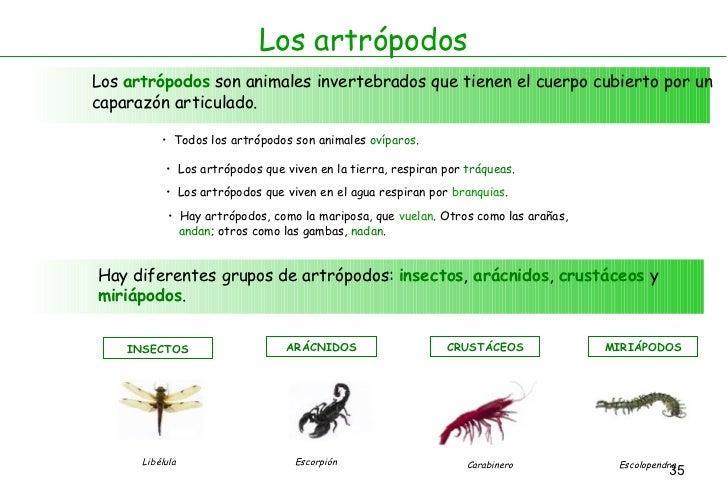 Los artrópodos Los  artrópodos  son animales invertebrados que tienen el cuerpo cubierto por un caparazón articulado. <ul>...