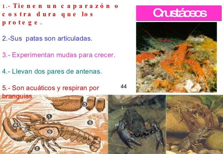 Crustáceos 44 1.-  Tienen un caparazón o costra dura que los protege.   2.-Sus patas son articuladas.   3.- Experimentan ...
