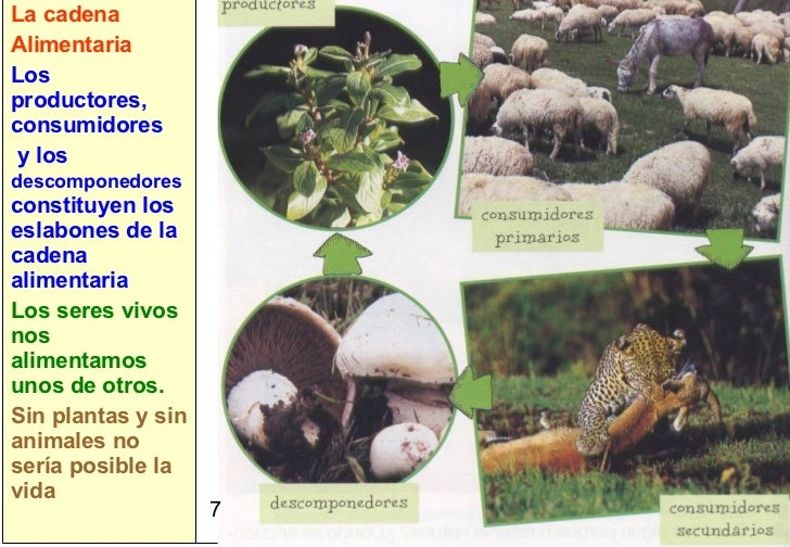 7 La cadena Alimentaria Los productores, consumidores y los  descomponedores  constituyen los eslabones de la cadena alime...