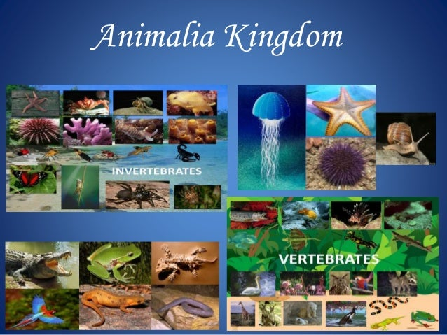 animalia kingdom modified