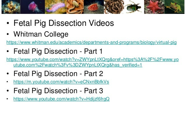 furthermore External Anatomy Of A Fetal Pig Lab 1 Muscle Diagram besides Fetal Pig Dissection Worksheet Answers New Anatomy Fetal Pig besides Pig Diagram Quiz   Database Wiring Diagram together with Fetal Pig Anatomy Diagram Dissection External – michaelhannan co also Virtual Fetal Pig Dissection with Pictures besides Fetal Pig Dissection Worksheet   Free Printables Worksheet besides fetal pig dissection worksheet     Pancreas as well Fetal Pig Dissection Diagram Answers Fresh Animalpla  Ben   Jerry moreover  furthermore Fetal Pig Dissection Labs in addition BI  7 1 1 Forensic Autopsy   Sqworl additionally Fetal Pig Dissection Worksheet Answers Best Of Vs Fetal Pig besides Pig Dissection moreover System Check up – Fetal Pig Dissection additionally Pig Dissection. on fetal pig dissection worksheet answers