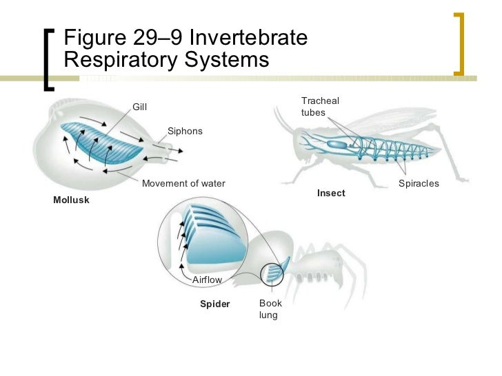 a study on gills a type of respiratory system in aquatic animals Chapter 29 miller and levine prentice hall biology  in the gills of aquatic animals, how do respiratory  the circulatory system brings carbon dioxide to the gills.