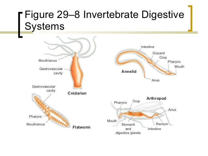 Cnidarians Digestive System Diagram Labled Enthusiast Wiring