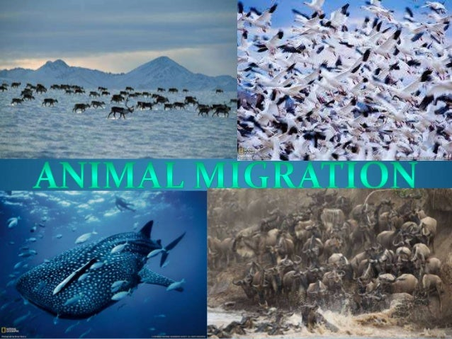 How animal migration works | howstuffworks.