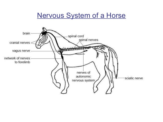 Equine nervous system diagram auto electrical wiring diagram animal nervous and endocrine system rh slideshare net horse nervous system diagram horse hoof anatomy ccuart Image collections