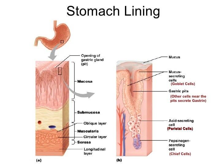 Animal nutrition bioguruindia stomach lining parietal cells ccuart Gallery