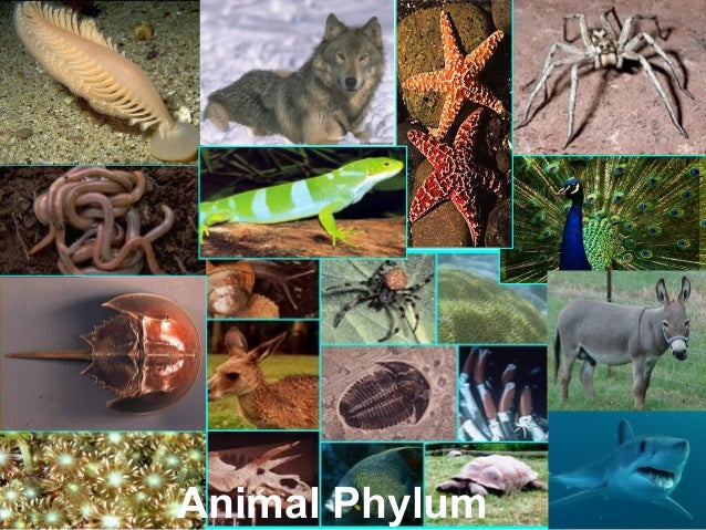 animal phylums