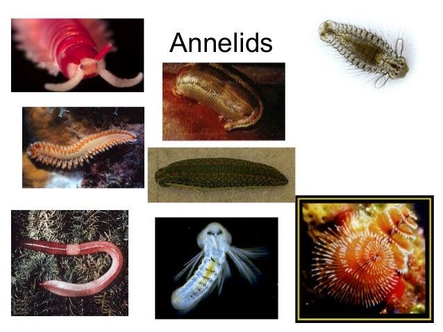Animal phylum