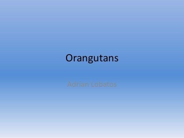 Orangutans Adrian Lobatos