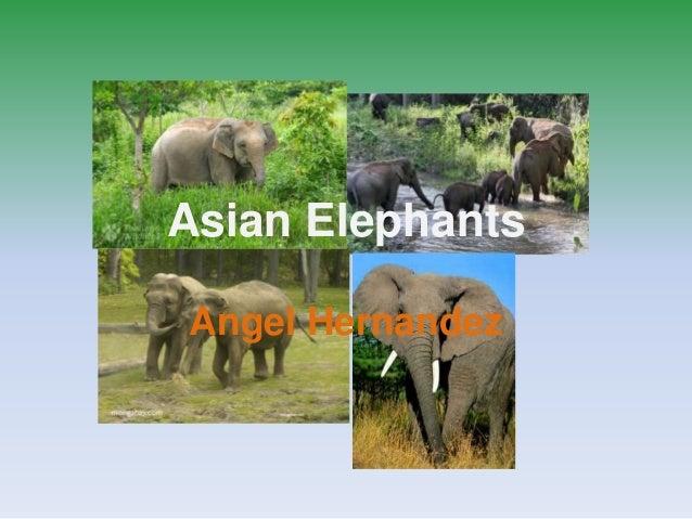 Asian Elephants Angel Hernandez
