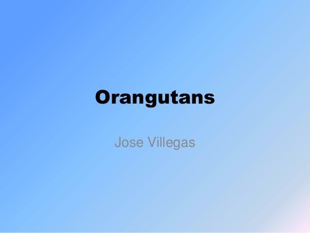 Orangutans Jose Villegas