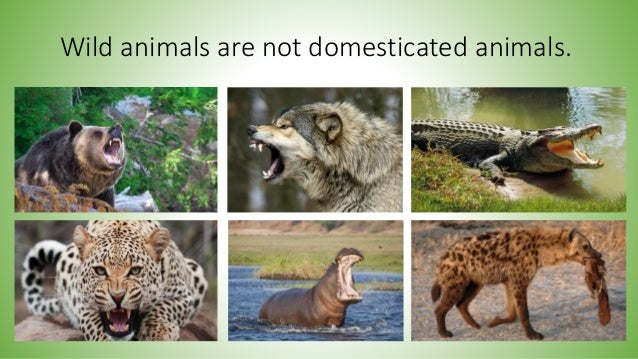 Image of: Cute Animals Wild Animals Are Not Domesticated Animals Lifestyle Allwomenstalk Wild And Domestic Animals Habitats
