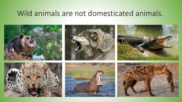 Image of: Cute Animals Wild Animals Are Not Domesticated Animals Lifestyle Allwomenstalk Wild And Domestic Animals Habitats