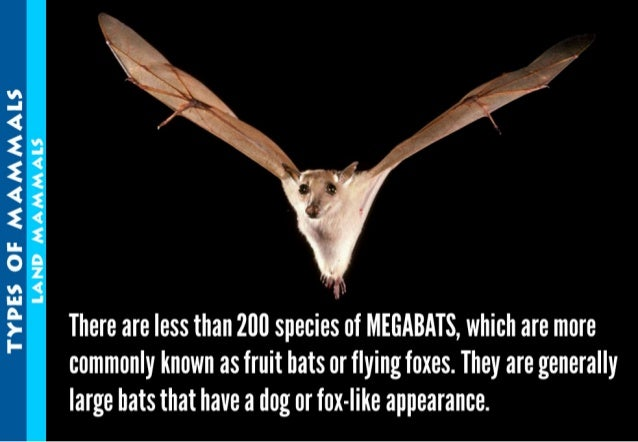 TYPES OF MAMMAES LAND MAMMALS  There are less than 200 species of MEGABATS,  which are more commonly known as fruit bats o...