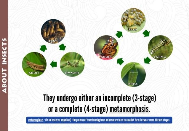 vs I- U in vs Z I- D O M 4     They undergo either an incomplete (3-stage) or a complete (4-stage) metamorphosis.      met...